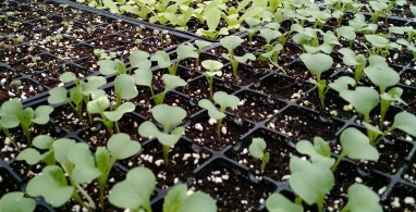Cropped_seedlings